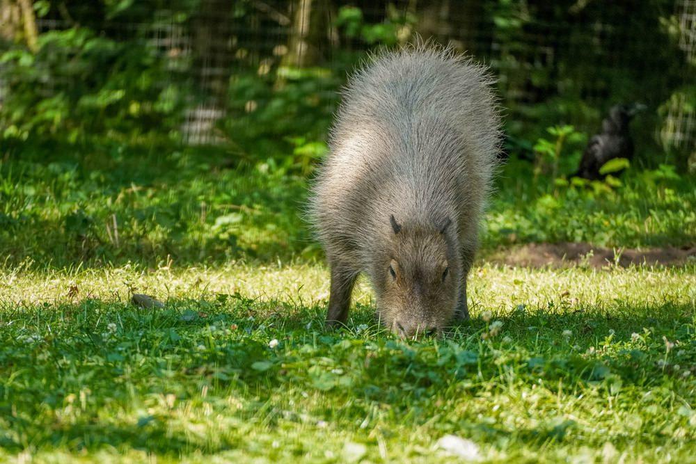 Capybara (Wasserschwein) // Sony α6600 // F 6.3 // 1/500 Sek. // ISO 1000 // 350 mm