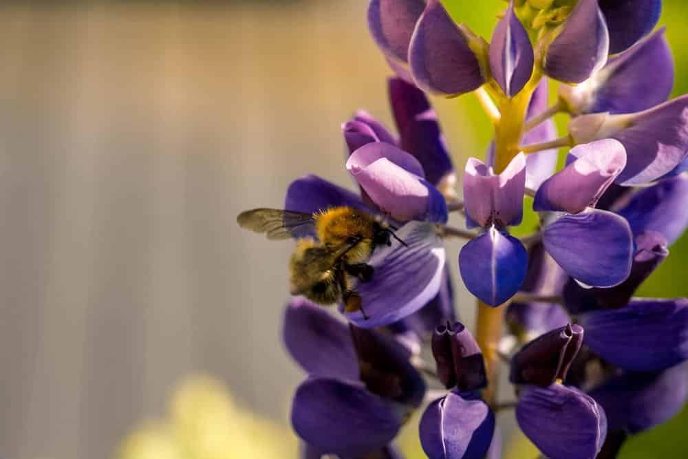 Bienen und Hummeln lieben Lupinen